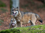 Eurasian Wolf in Bavarian Forest