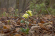 Leinwanddruck Bild - Primula elatior