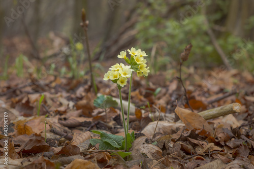 Leinwanddruck Bild Primula elatior