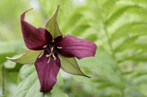 Red trillium against ouf of focus fern leaves. trillium erectum Poster