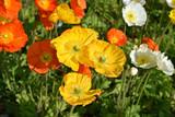 Pavots jaunes, orange et blancs au printemps au jardin