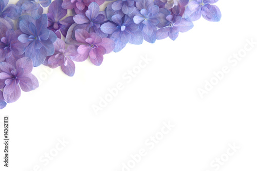 Fotobehang Hydrangea アジサイの花 白バック