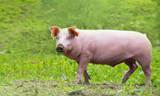 ein glückliches Hausschwein läuft auf einer Wiese herum - 143631973