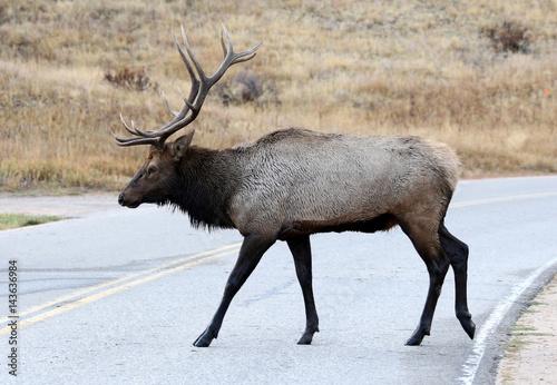 Wild Bull Elk Crosses the Street near Estes Park, Colorado Poster