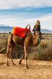 lachendes Kamel