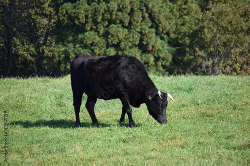 Poster 牛の放牧