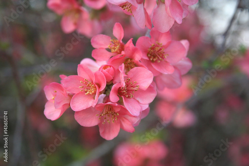Papiers peints Azalea Sfondo di primavera. Fiori rosa su ramo