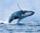 Humpback Whale (Megaptera novaeangliae), Breaching Off Coast of Puerto Lopez, Ecuador