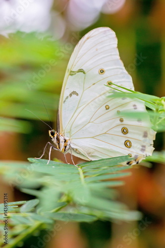 White Morpho butterfly resting on some green vegetation. Poster