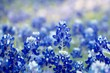 Bluebonnet patch in central Texas