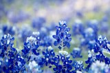 Bluebonnet patch in central Texas - 143701727