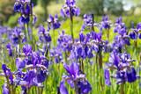 Flower blue irises