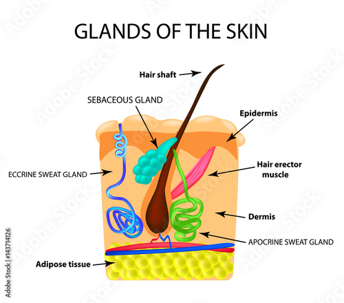 The structure of the hair. Sebaceous gland. Sweat gland ...