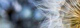 Sementes de dente-de-leão. © JCLobo