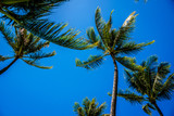 Clear blue sky above the palm branches of the palm trees at the Ko Olina resort area on the tropical island of Oahu in island state Hawaii in the Pacific Ocean - 143728109