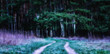 Magical coniferous forest