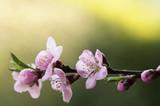 Kwitnąca wiśnia na zielonym tle