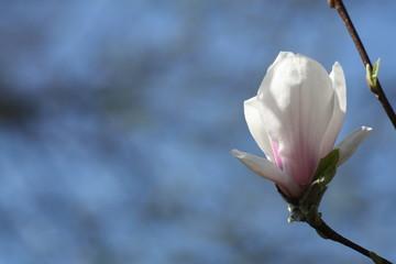 Magnolie, Tulpenbaum
