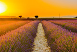 scented lavender fields in bloom in southern france