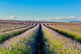 panorama of lavender of Provence in France - 143777759