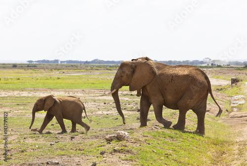 Poster Elephants in Kenya