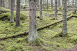 Old spruce forest in Finland