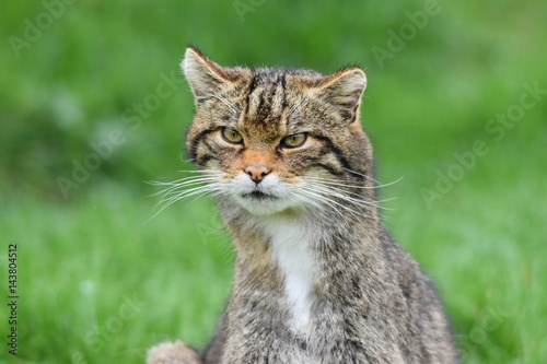 Poster Scottish Wildcat