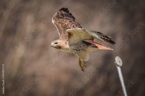 Poster Red Tailed Hawk