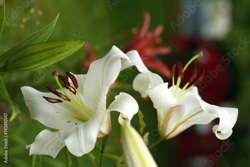 closeup Lily flowers in a garden Poster