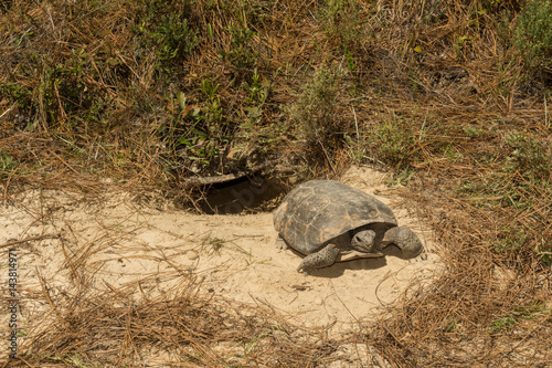 A Gopher Tortoise emerging from it's burrow. Poster