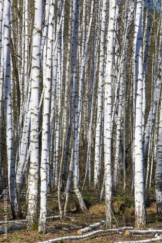 Fotobehang Berkenbos Spring landscape birch forest. April. Birches with the unblown leaves