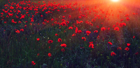 wild flower poppy at sunset
