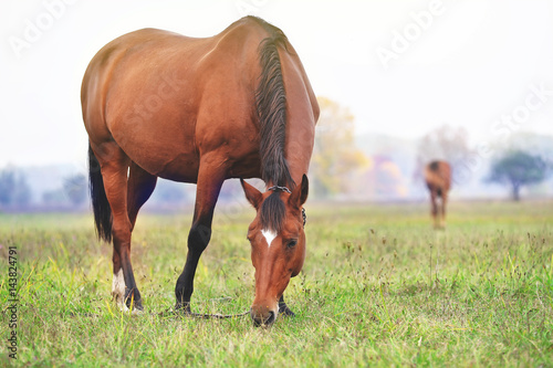 A horse is grazing in a meadow Poster