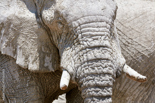 Poster African elephant portrait