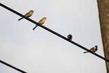 Bird sparrow on wire - 143853743