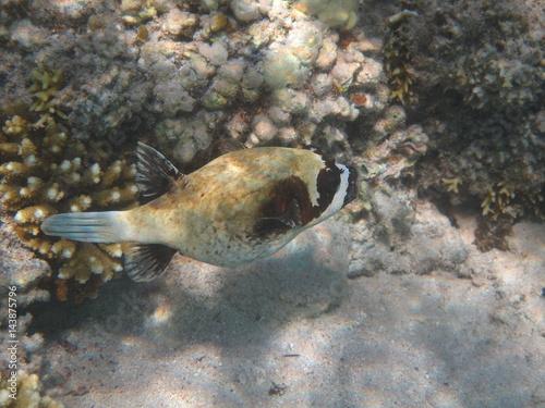 pesci e barriera corallina red sea Poster