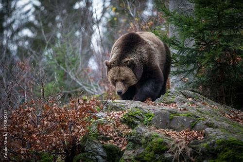 Poster European Brown Bear
