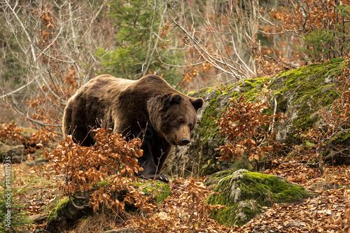 Stampa su Tela European Brown Bear