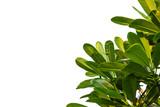 Plumeria leaves isolated on white background, Frangipani.