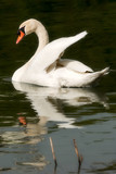 White mute swan in the water while swimming
