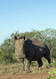 White Rhino in Swaziland