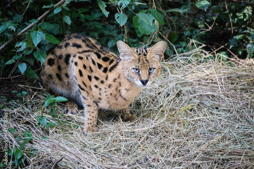 Poster Serval cat