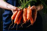 Organic fresh harvested vegetables. Farmer's hands holding fresh carrots, closeup - 143921160