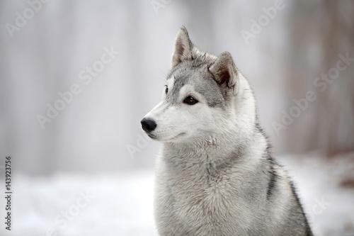 Poster Siberian Husky dog