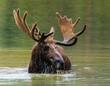 Colorado Shiras Moose