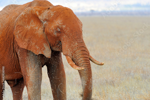 Poster Elephant in National park of Kenya