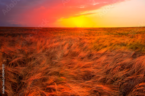 Poster Baksteen Gold wheat field