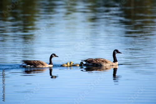 Canada Geese With Chicks Poster