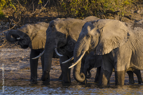 Poster African bush elephant or African elephant (Loxodonta africana) drinking