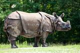 Nashorn - Rhinozeros - Rhinoceros unicornis